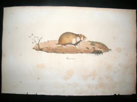 Saint Hilaire & Cuvier C1830 Folio Hand Colored Print. Hamster